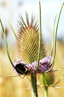 Teasel in partial bloom with a bumble bee - 2041